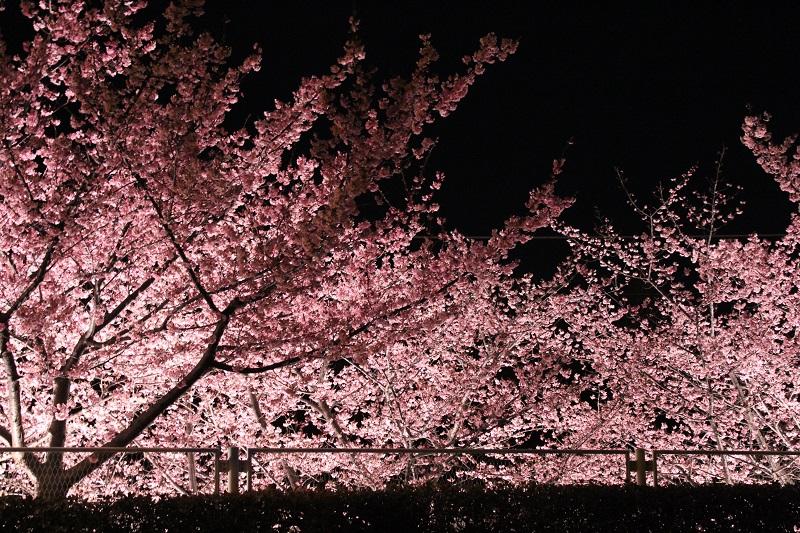 「河津桜」の絶景も! 神奈川県『マホロバ・マインズ三浦』の「SAKURA(桜)ルーム」で春満喫のステイをしよう♡【桜 2019 #6】_4