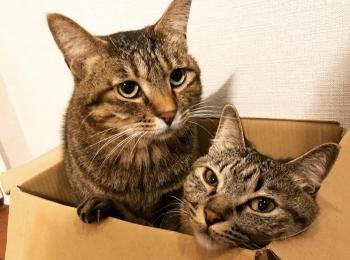 【今日のにゃんこ】がんくんとサンちゃん、ダンボール箱に仲良く!
