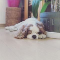 【今日のわんこ】まんまるおててが可愛い♡ ナッツくんは涼しい部屋でお昼寝中