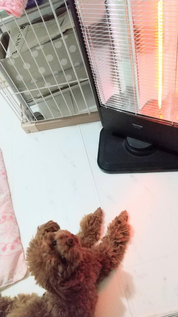【今日のわんこ】犬だって寒い! 暖房器具のど真ん中を陣取りたいテテちゃん_1