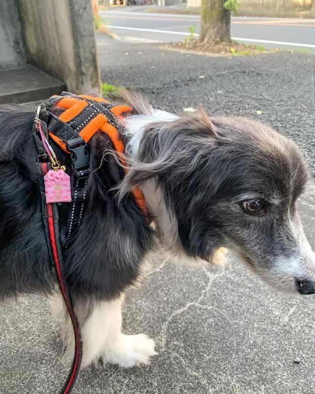 お守りがついたハーネスでお散歩をする犬・メルちゃん