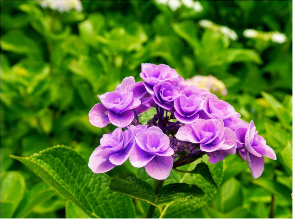 """まだ間に合うかも!?【鎌倉】の """" 紫陽花 """" を観て、心をリフレッシュしてみてはいかがでしょうか?_4"""