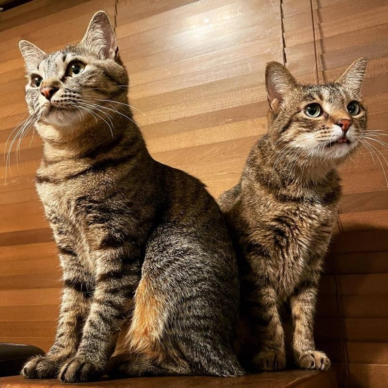 雑種猫・がんくんとサンちゃんがポーズをばっちり決めている様子