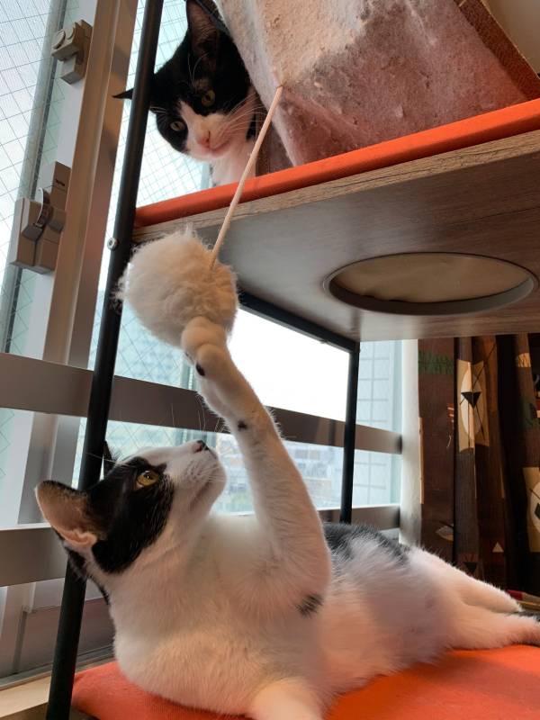 キャットタワーの上下で遊ぶ猫・ベルくんとラビくん