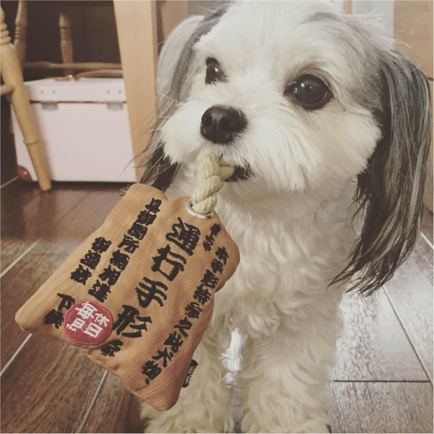 本日のわんこ 太郎くん チワワ×マルチーズのミックス_1