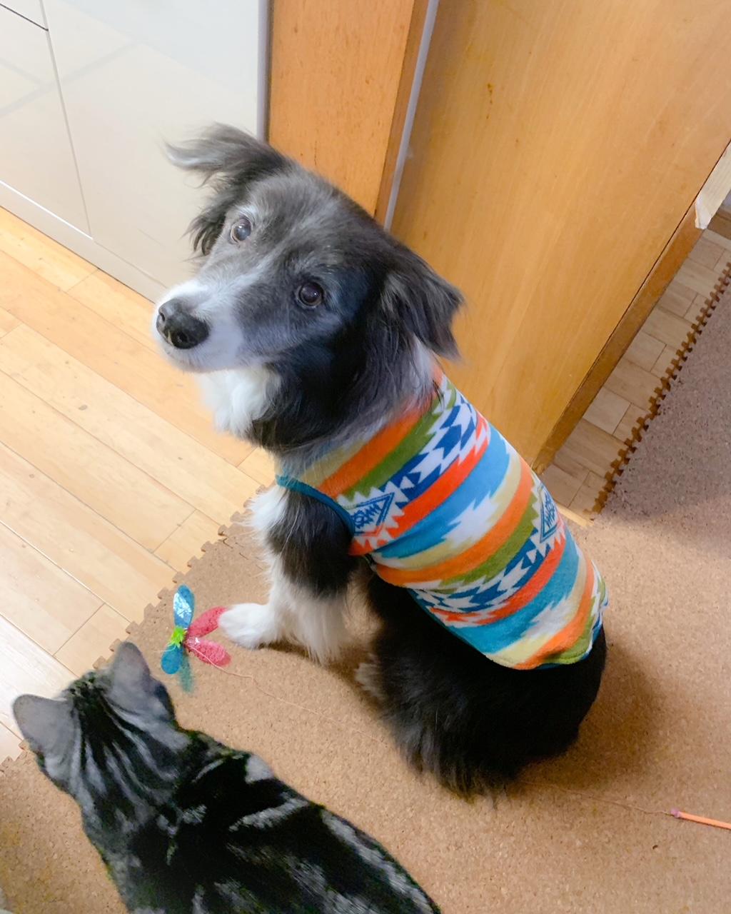 おニューの服でお散歩へ行く犬・メルちゃん