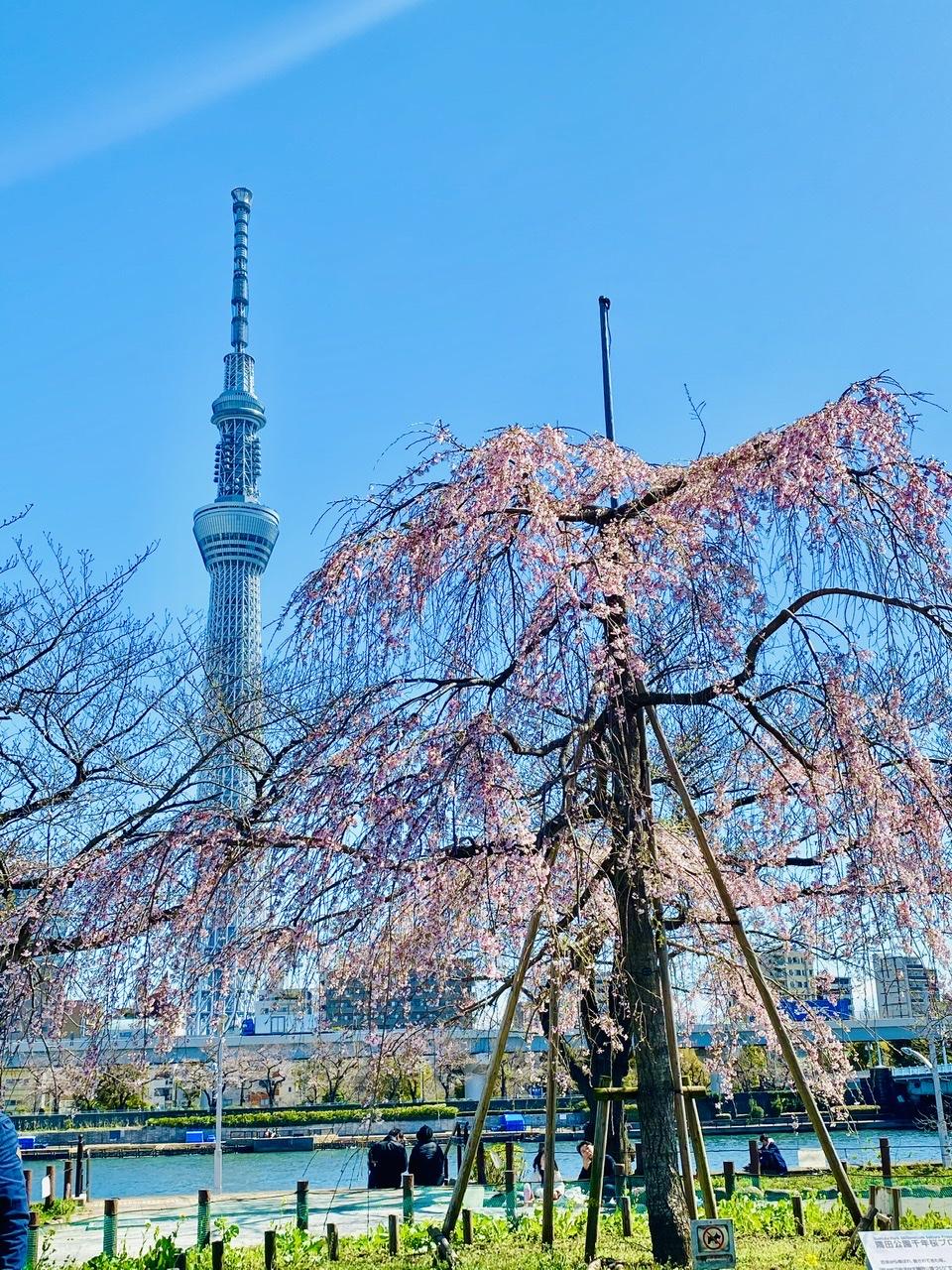 【隅田公園】お花見絶景スポット発見!《桜×東京スカイツリー》のコラボが映え度抜群♡_2