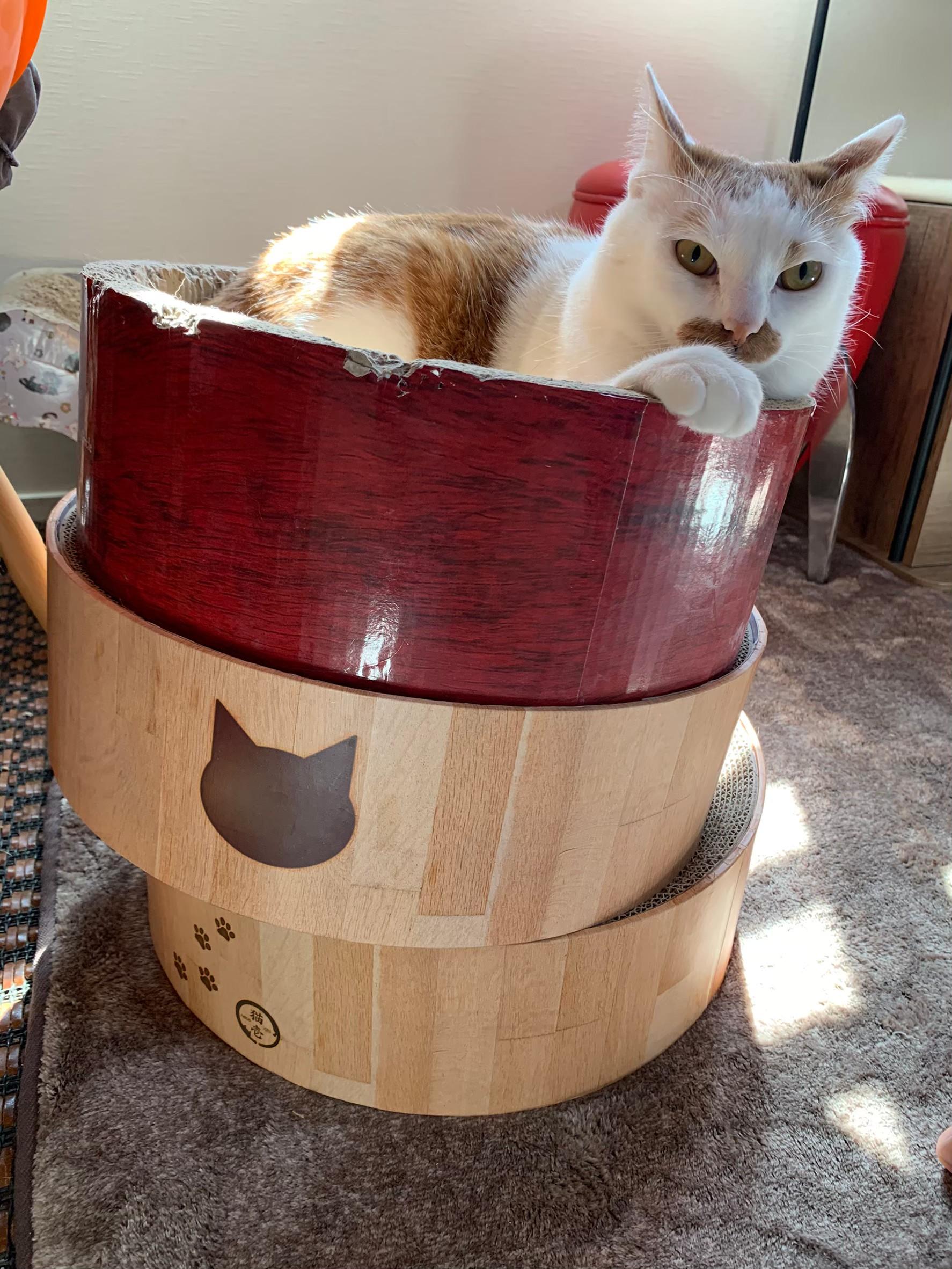 爪研ぎに乗る猫・ラビくん