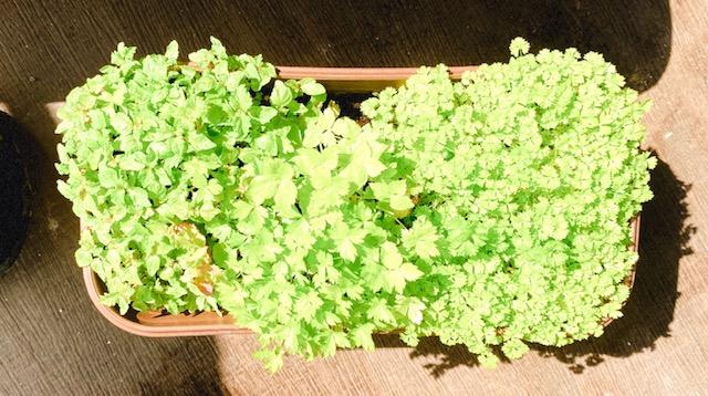 【ぶり農園】初めてのベランダ菜園でも育てやすい食料・お花はどれだ?_4