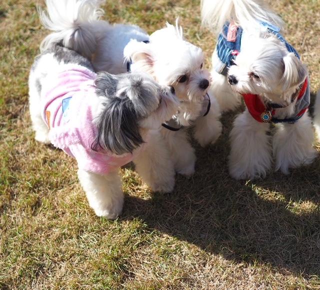 チワワとマルチーズのミックス犬、3匹が集合