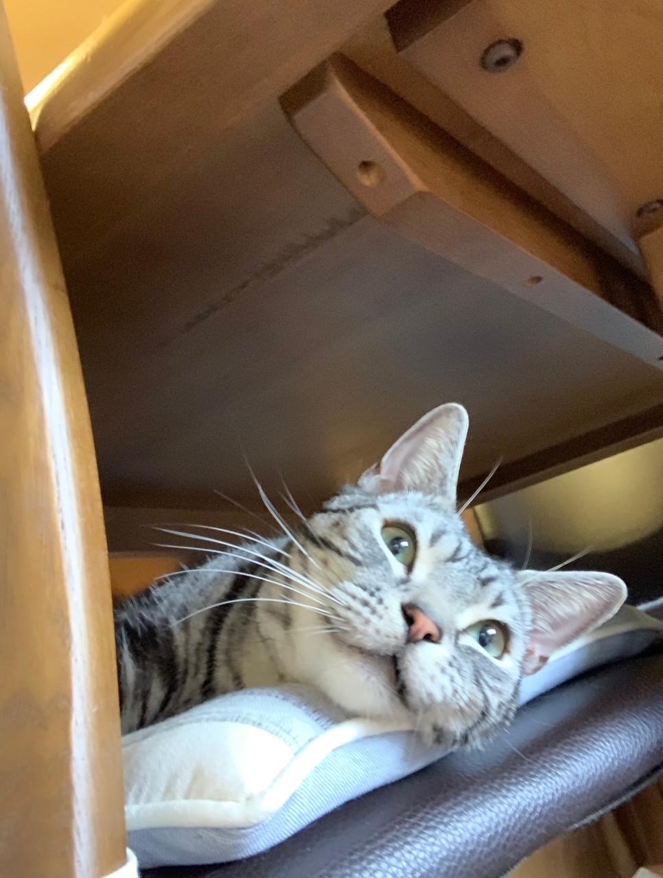 机の下で考え事をしている猫・ソラくん