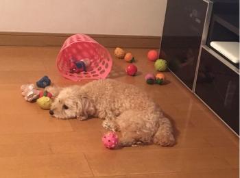 【今日のわんこ】シフォンちゃん、今あるおもちゃに飽きる、の巻