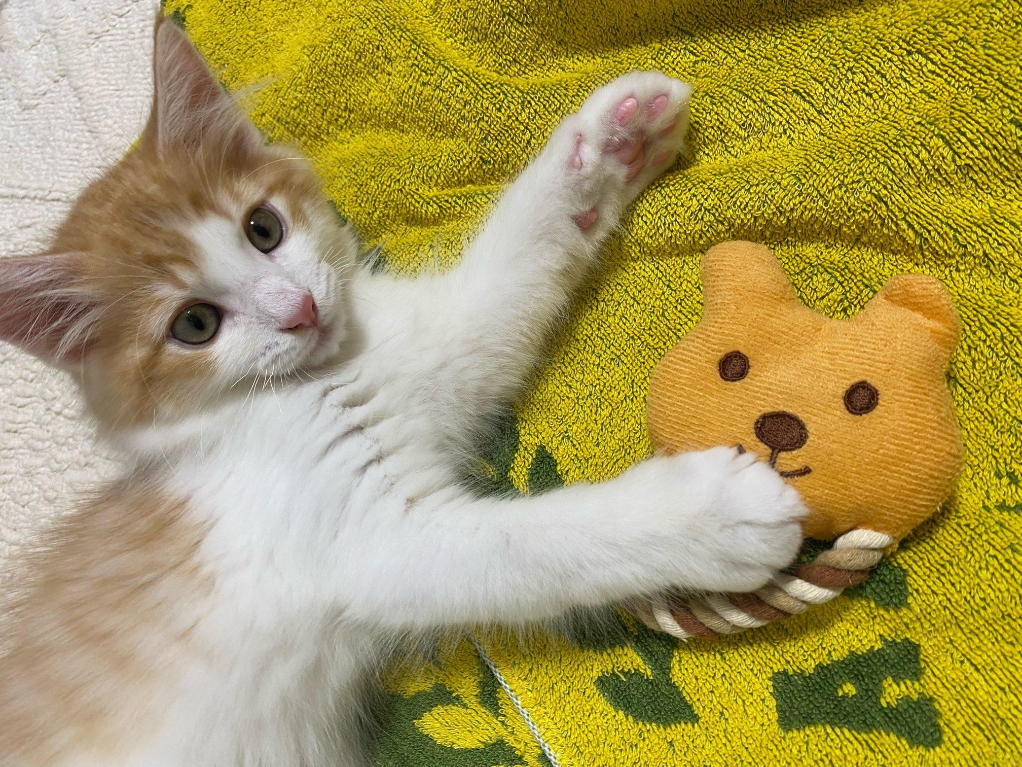 子猫がおもちゃで遊んでいる様子