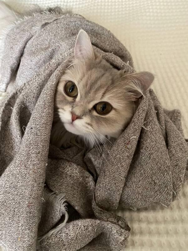 グレーの毛布から顔を出す猫・ココンちゃん