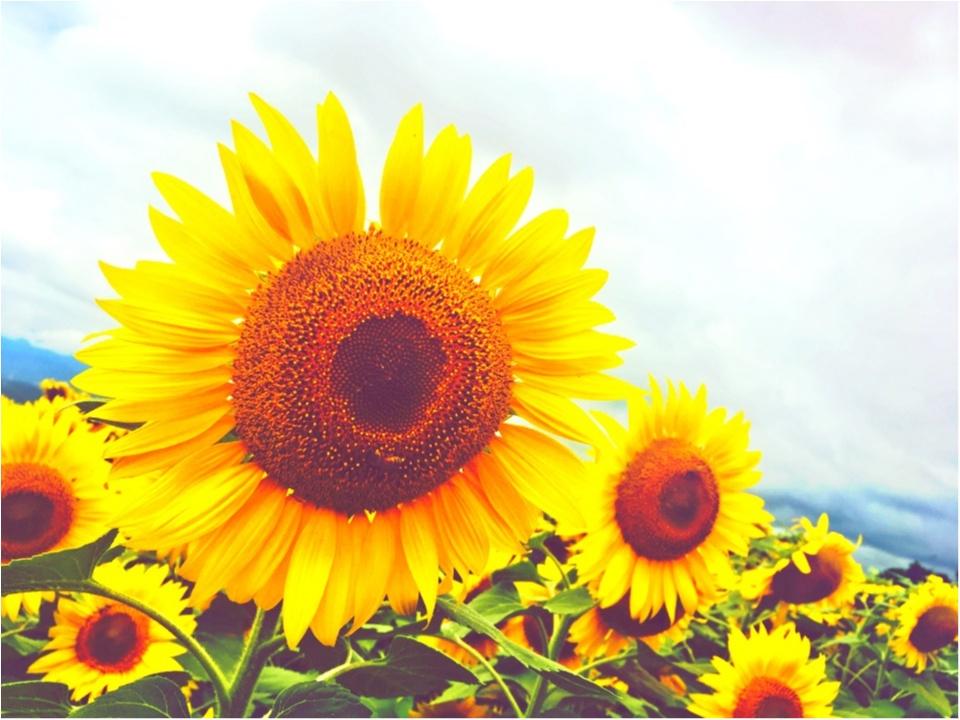 【HISバスツアー】60万本の奇跡!明野ひまわり畑と「清里テラス」&収穫体験ツアー_2