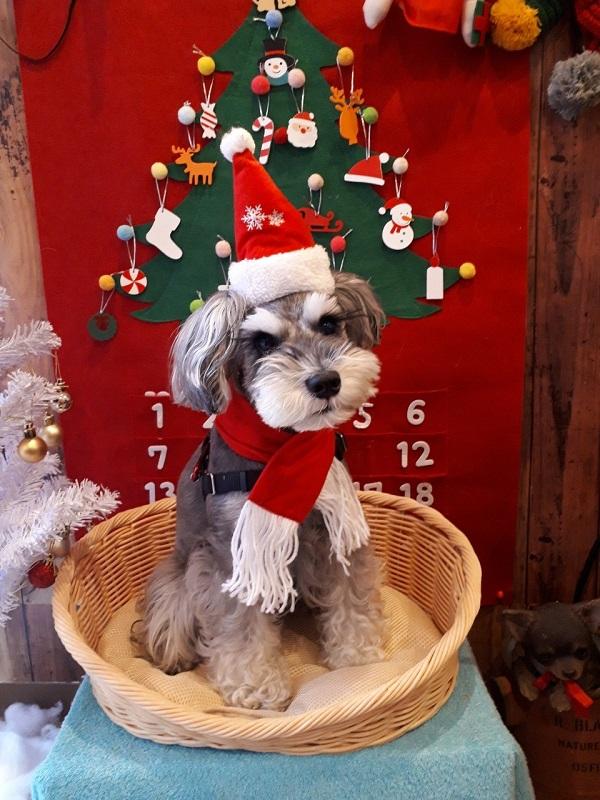 自宅でサンタの格好をしてクリスマスを楽しむ犬・サクラちゃん