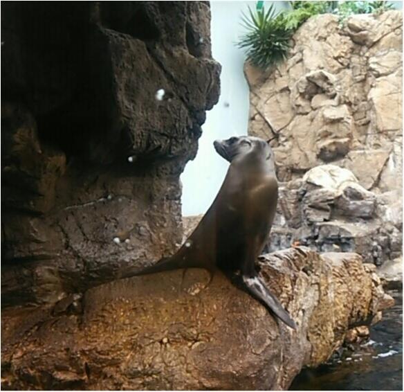 とっても可愛い!【海遊館】でペンギンの赤ちゃんが生まれましたよ!!(443 まゆ_7