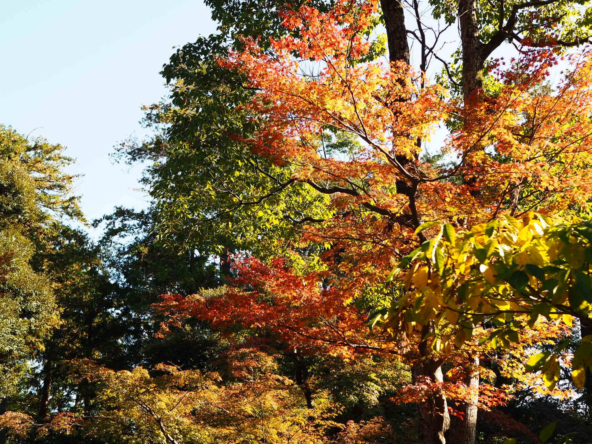 【#秋の鎌倉さんぽ】紅葉の鶴ヶ丘八幡宮♡ あの銀杏に会えるカフェ。_1