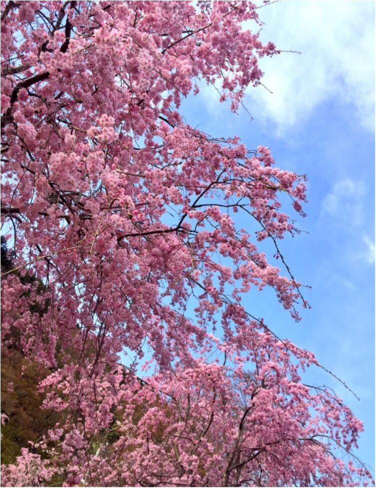 お花見するならピンクをリンク!コーデも桜色にして春を楽しもう♡_1