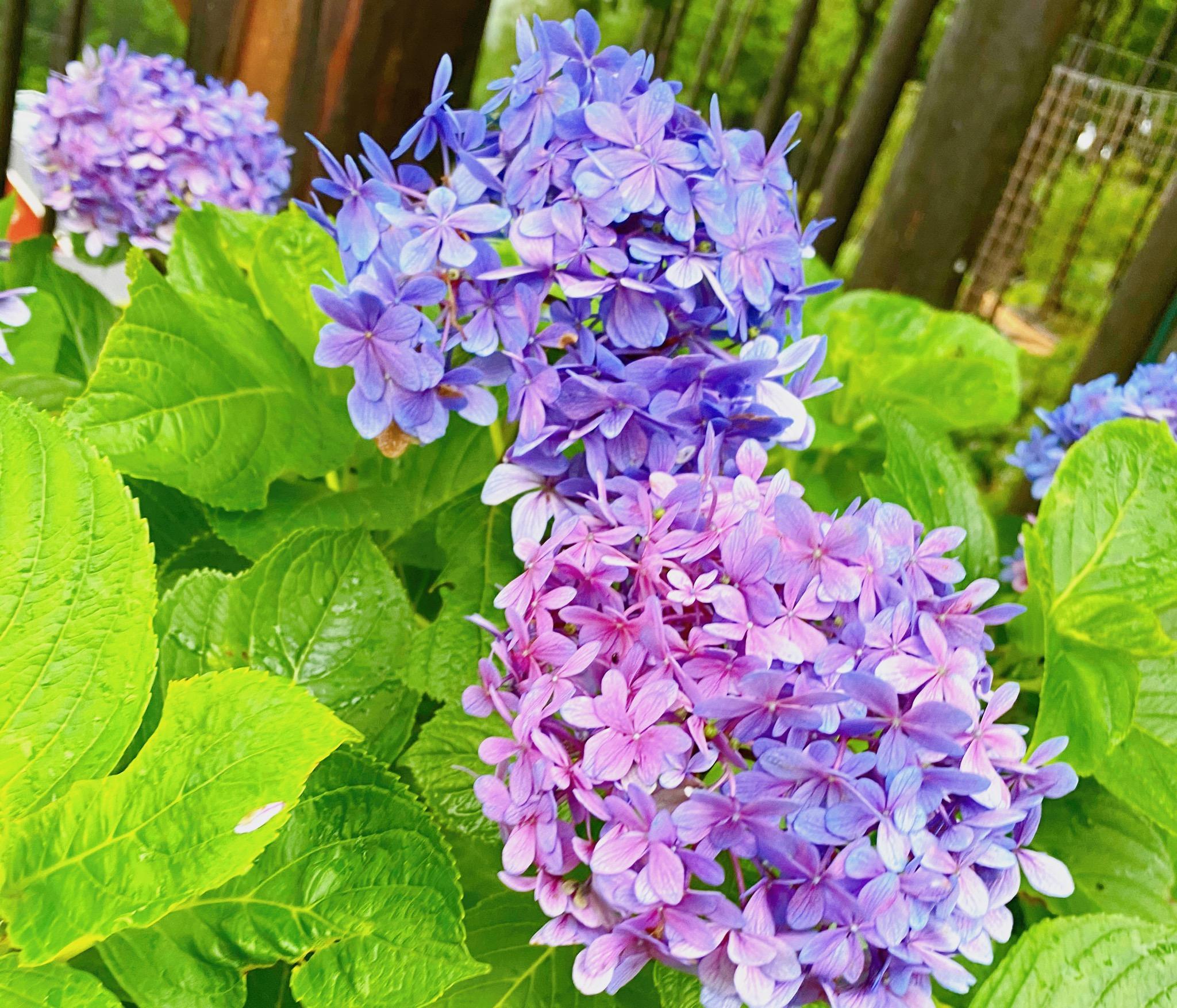 【三島スカイウォーク】絶景!だけじゃない!紫陽花めぐりで〆はスイーツ♡_3
