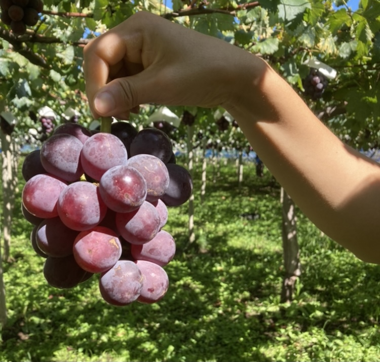 山梨県の葡萄農園でのぶどう狩りで食べられる巨峰