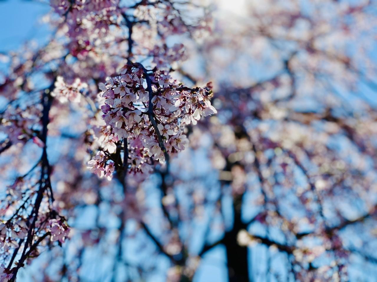 【隅田公園】お花見絶景スポット発見!《桜×東京スカイツリー》のコラボが映え度抜群♡_6