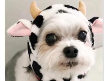 【今日のわんこ】牛のコスプレに挑戦! 太郎くん