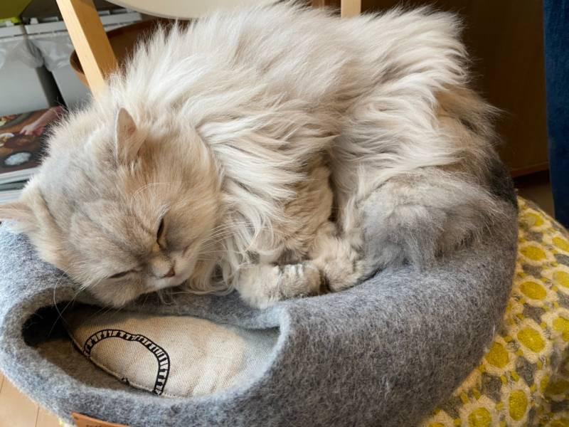 【今日のにゃんこ】ココンちゃん流ベッドの使い方とは?