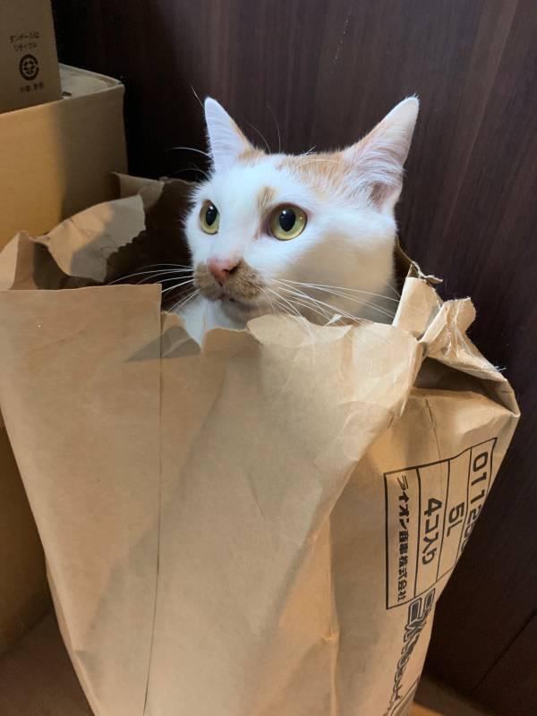 紙袋から顔を出す雑種猫・ラビくん