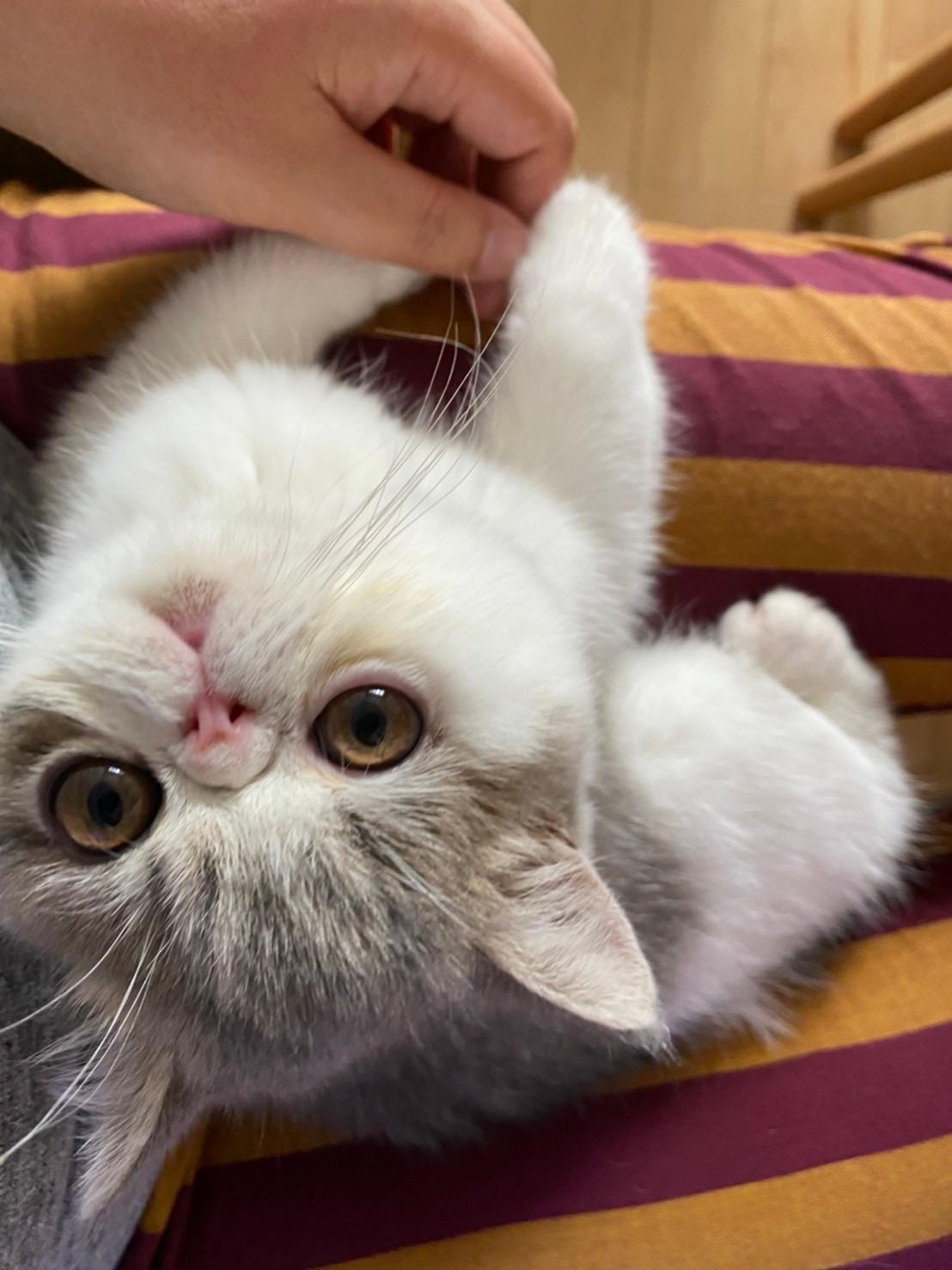飼い主の膝の上で甘える猫・こたつくん