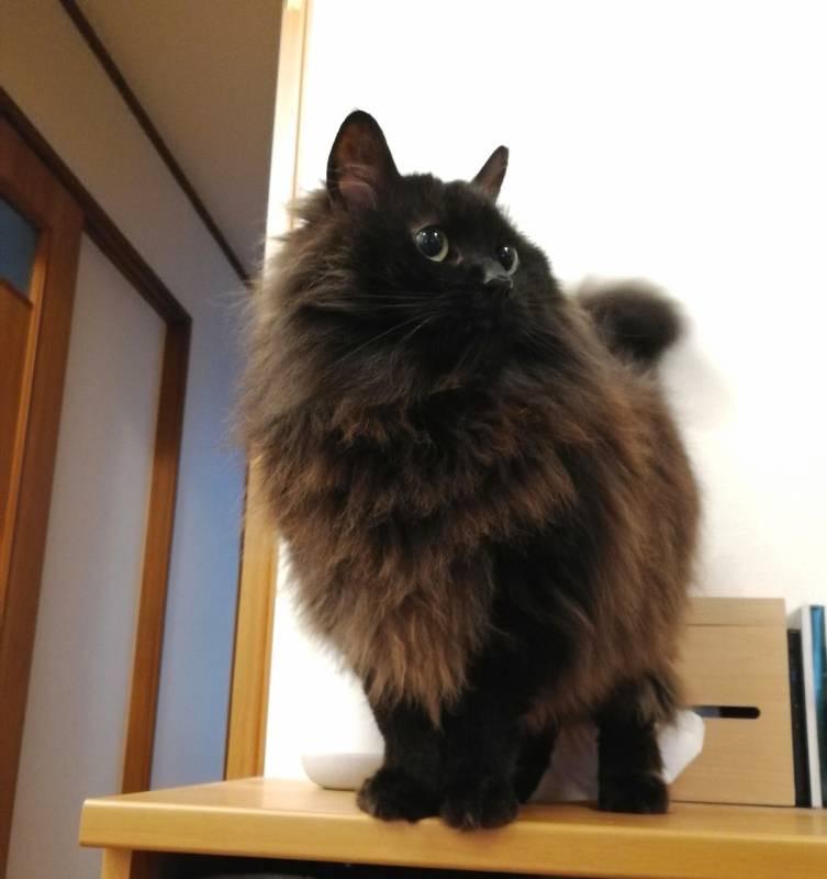 ジャンプして飛び乗った棚の上でご機嫌な猫・ゆらちゃん