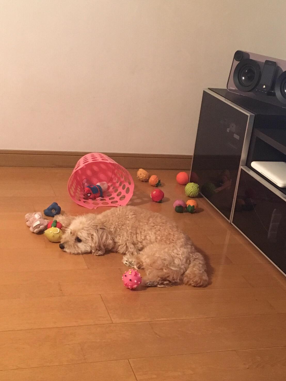 【今日のわんこ】シフォンちゃん、今あるおもちゃに飽きる、の巻_1