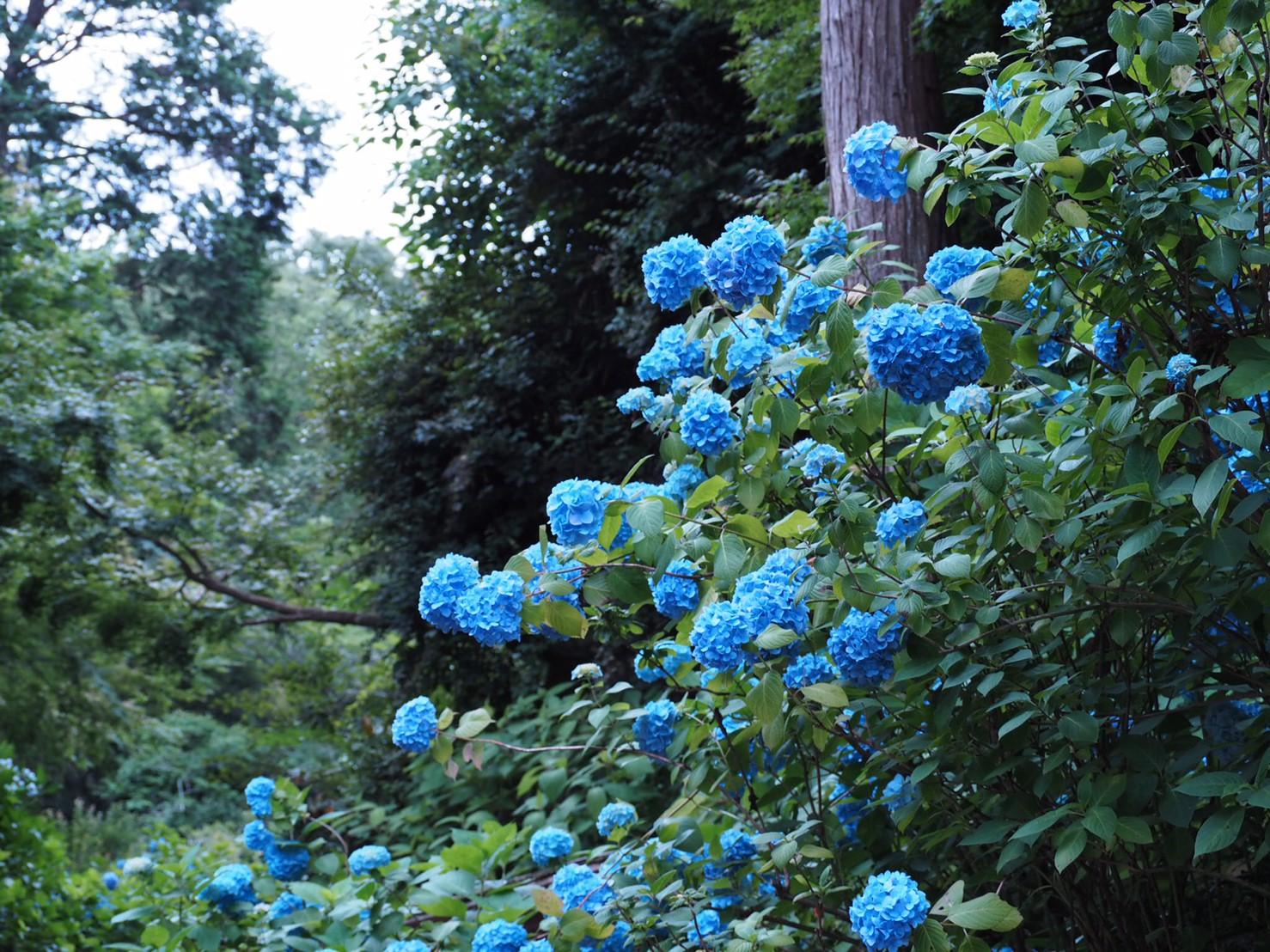 【6月鎌倉旅】#明月院ブルー あじさいの旅♩ _14