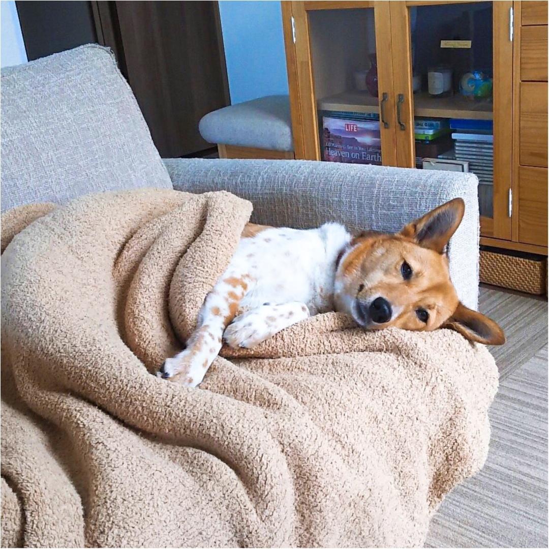 【今日のわんこ】ゆったりまったり♪ 毛布とくつろぐこだまちゃん_1