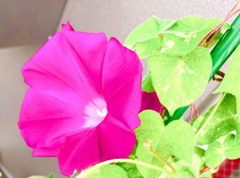 【ゆとり農園、今年初の朝顔】休日も早起きしたくなる!自宅の庭で楽しめる涼
