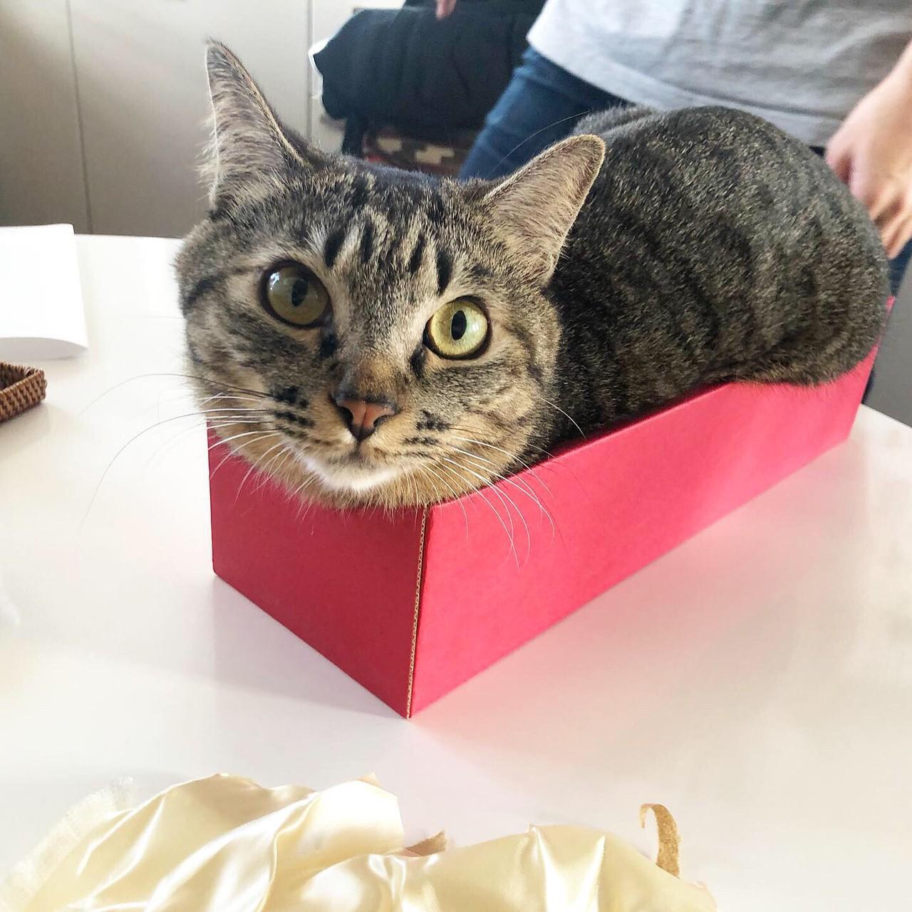 日本酒が入っていた箱に入る猫。雑種・サンちゃん