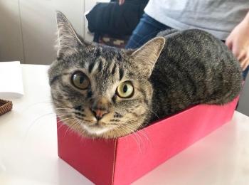 【今日のにゃんこ】空箱にすっぽり! サンちゃん