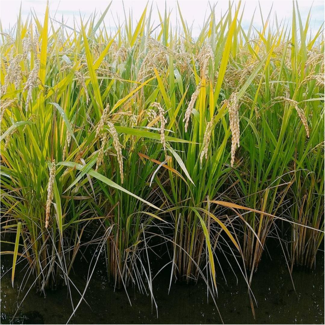稲刈りが始まりますが、あいにくの雨......。我が家のお米のこだわりとは?【#モアチャレ 農業女子】_2