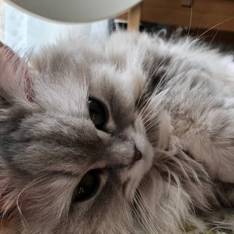 【今月のにゃんこ】ペルシャ・チンチラブルー・ココンちゃんの、くりくりおめめが可愛すぎる瞬間5選♡_4