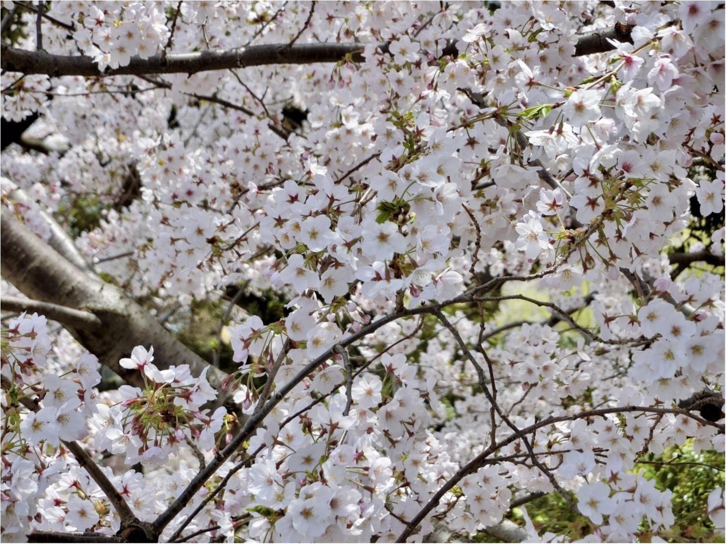 【可愛いフォトスポットも☆】六本木・東京ミッドタウンでお花見してきました!_2