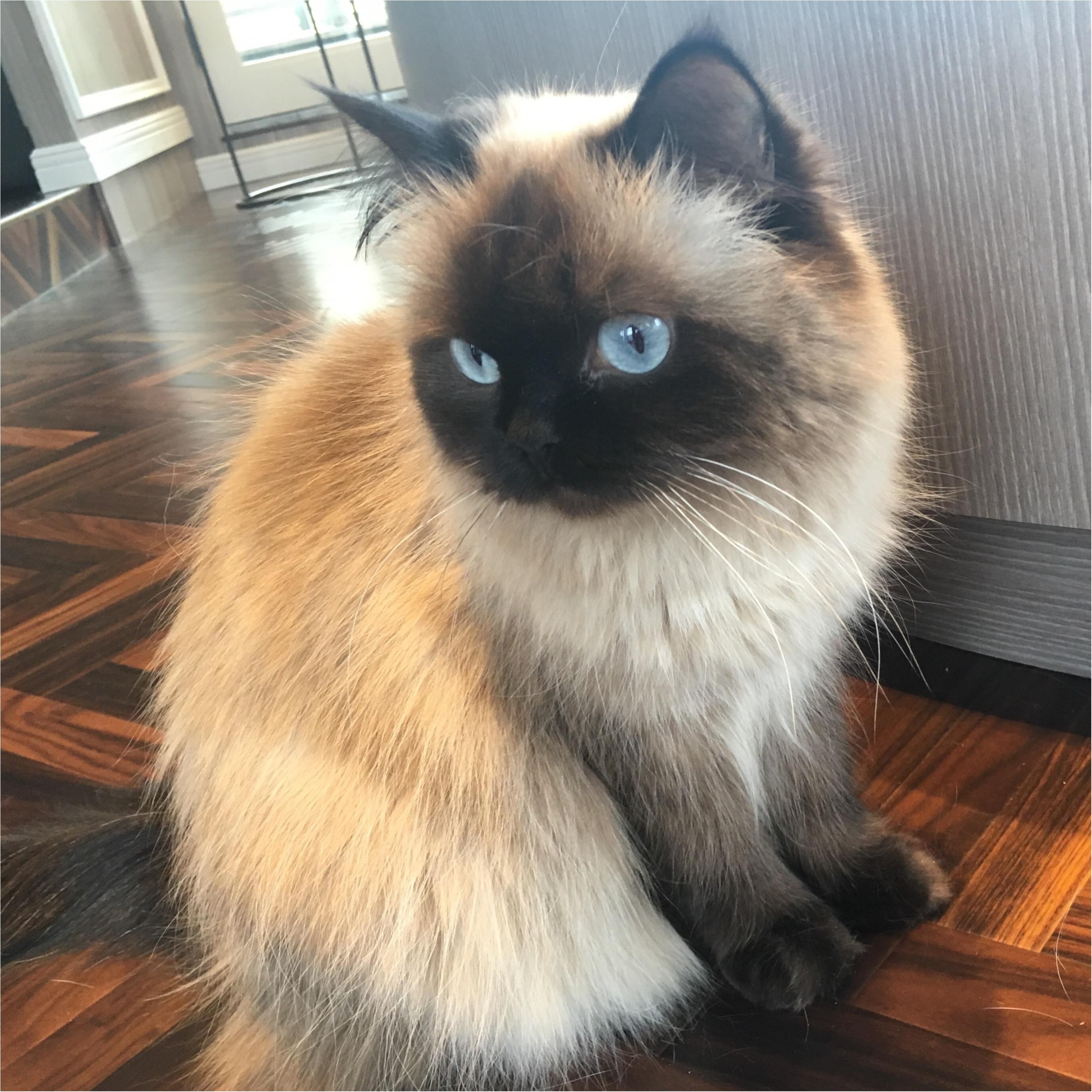 【猫カフェ】渋谷で癒しの猫カフェ♡今ならカワイイ子猫にも会えちゃう♪_16