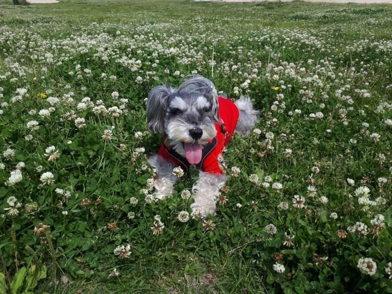 四つ葉のクローバーを探す犬・サクラちゃん