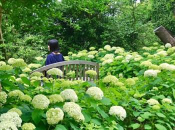 【デートにも女子旅にもおすすめ】 白いあじさい畑×静かな茶室でのティータイム