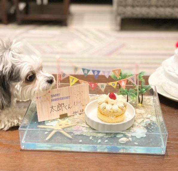 チワワとマルチーズのミックス・太郎君のお誕生日を祝っている様子