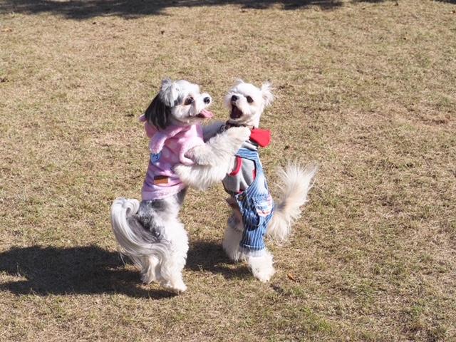 チワワとマルチーズのミックス犬・太郎君がこむぎくんとわんこプロレスしている様子