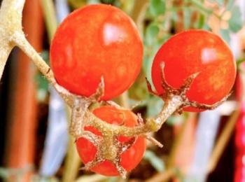 【ゆとり農園、収穫!】ベランダ夏野菜でおうち時間のおうちご飯