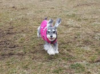 【今日のわんこ】トリミング後のサクラちゃんは、まるでうさぎのよう!
