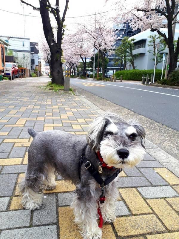 桜並木の下で記念撮影する犬・サクラちゃん