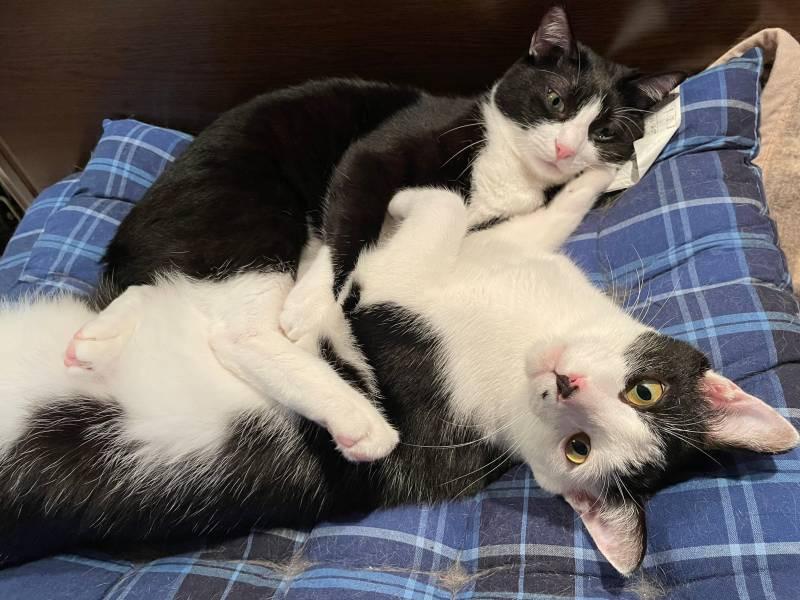 横並びで寝転ぶ猫・ルウくんとベルくん