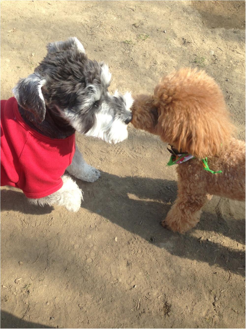 【今日のわんこ】仲良くしよう♡ サクラちゃんはお友達と鼻キッス!?_1